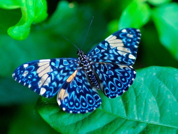 Mariposa de color azul :: Si buscas las mejores fotos de mariposas, en la siguiente galería que hemos preparado disfrutarás con una selección de imágenes de mariposas de colores para que puedas completar tu colección.