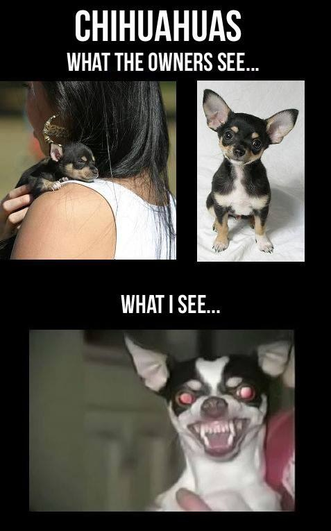Chihuahuas Meme | Slapcaption.com