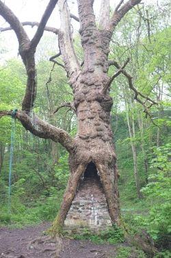 Platane dans un wood by the Brislington Brook, Bristol, Royaume-Uni