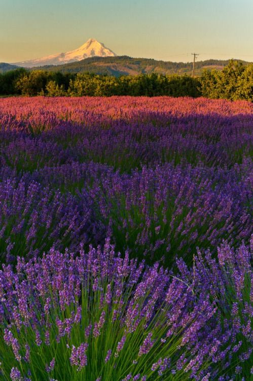 Lavender fields - Pella Regional Unit - Greece