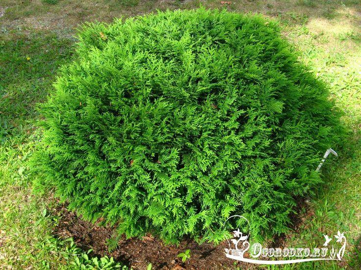 Как я выращиваю тую из веточки. Я очень люблю вечнозеленые растения из-за их круглогодичной декоративности. Но, к сожалению, посадочный материал таких растений стоит недешево, поэтому я освоила метод размножения вечнозеленых черенкованием. Это позволяет вырастить очень красивое вечнозеленое растение, не потратив при этом ни копейки. Ведь получить черенок очень просто, нужно просто найти понравившееся дерево и отломить от него небольшую веточкуhttp://ogorodko.ru/category/dekorativnyye-rast...