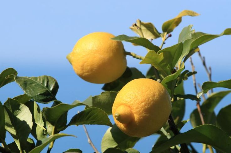 How to Grow Lemon Trees in Texas