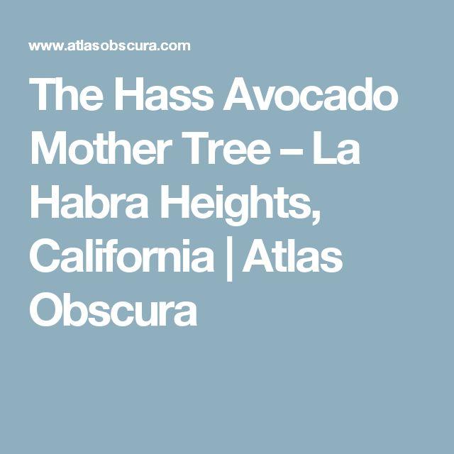 The Hass Avocado Mother Tree – La Habra Heights, California  | Atlas Obscura