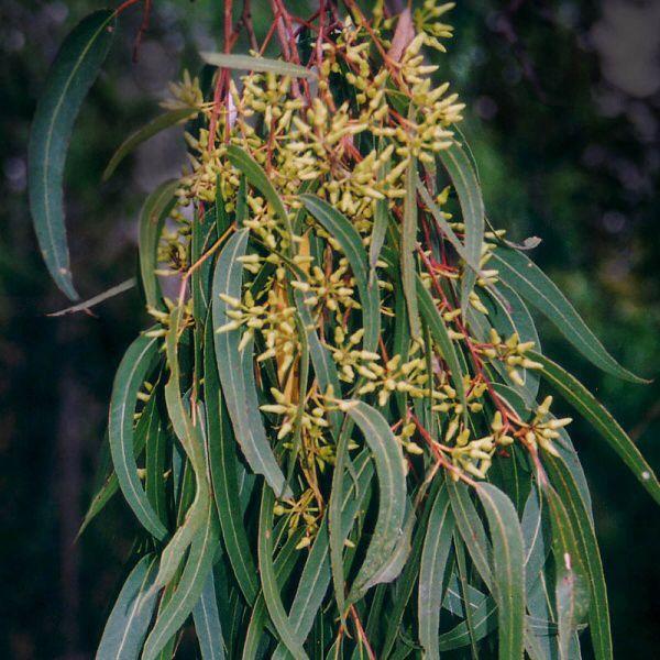 Forest Red Gum, Blue Gum (Eucalyptus teriticornis)