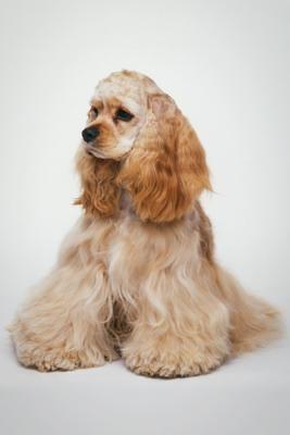 Source: American Spaniel Club   American Kennel Club    Photo: Dave King   Dorling Kindersley   Getty Images