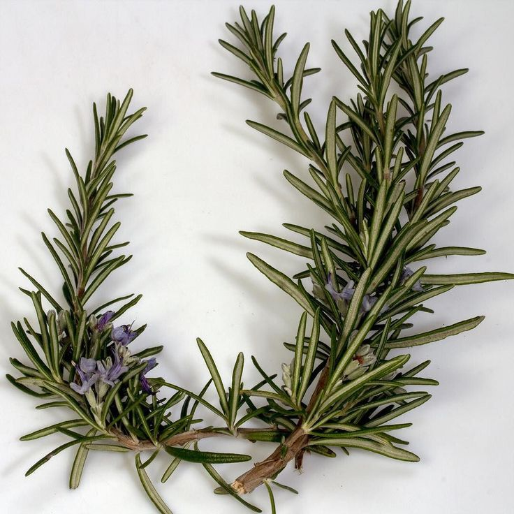 Our styling range contains rosemary leaf extract which is antimicrobial toning a tremendous natural conditioner has a stimulating effect on the scalp tissue increases blood circulation and assists in the management of dandruff. #trichovedic #hairwisdom #luxuryhaircare #trichovedicingredients