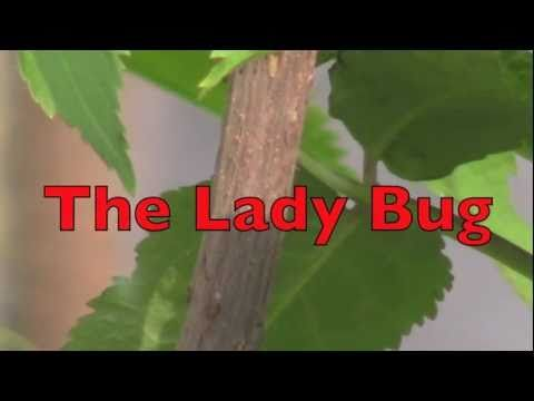 THE LADYBUG (The life cycle of the lady bug...a great video and its in HD)