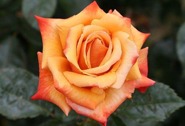 Remember Me 174 Roses Heirloom Roses Flowers I Need