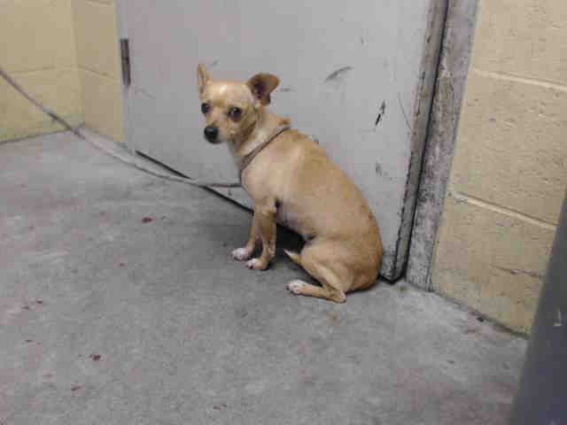 Chihuahua Dog For Adoption In Downey Ca Adn 810127 On Puppyfinder Com Gender Male Age Adult Dog Adoption Chihuahua Chihuahua Dogs