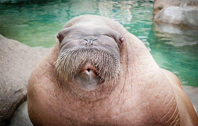 E.T the Walrus: Aquarium Points, Walrus June, Defianc Zoos, Walrus Practice, Points Defianc, June 2012, Amazing Animal, Ripe Age