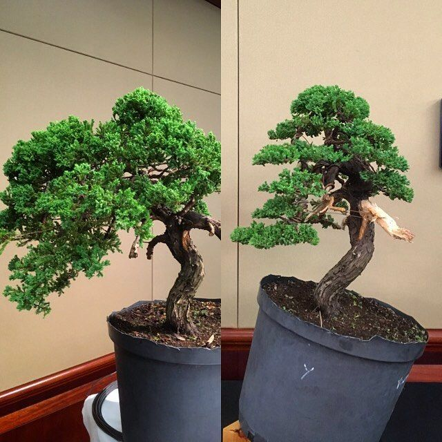 """Andrew Sellman (@acsellman) en Instagram: """"Before and after from my demo at the aabc national #bonsai show today.I was under the pump with…"""""""