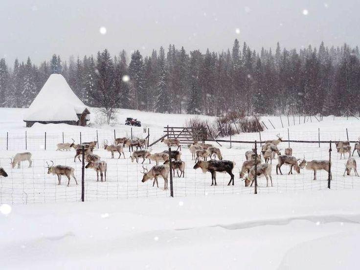 hirvipirtit lapland cabins, Taivalkoski Finland, reindeer farm