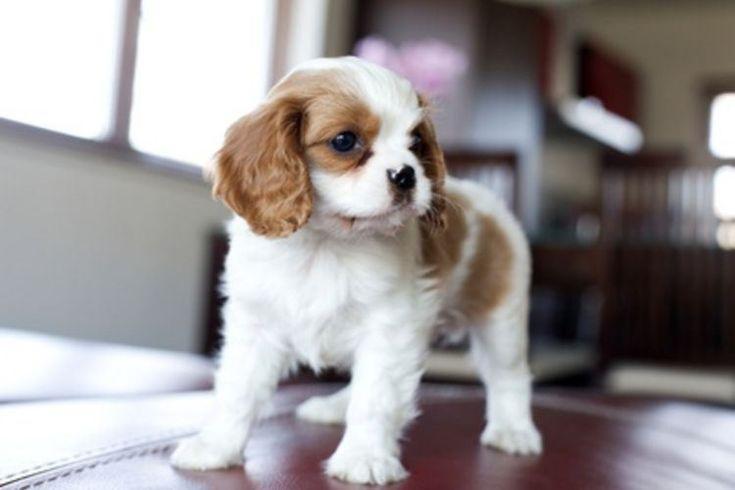 Dog Breeds That Don T Bark Or Shed Animals Pinterest