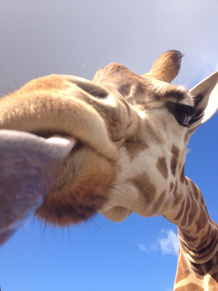 A good morning kiss from Werribee Open Range Zoo! www.zoo.org.au/werribee