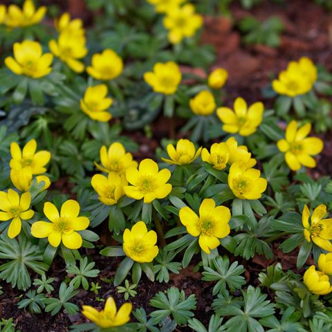 Winter Aconite. A great partner for snowdrops. Drift forming