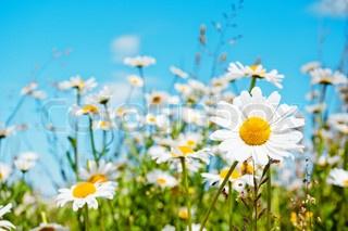 White daisies & a beautiful blue sky. #oklsummer