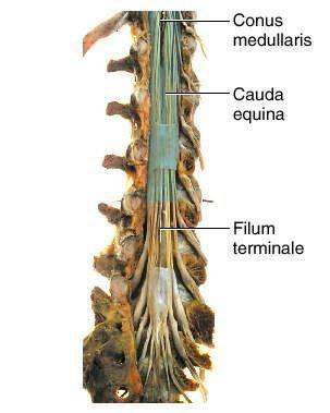Более 25 лучших идей на тему «cauda equina» на pinterest, Human Body