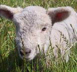 Babydoll Southdown Sheep | Canvas Ranch