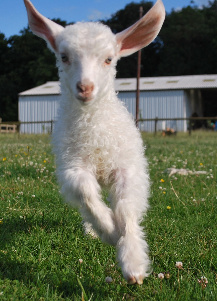 Baby goat jumping   GO...