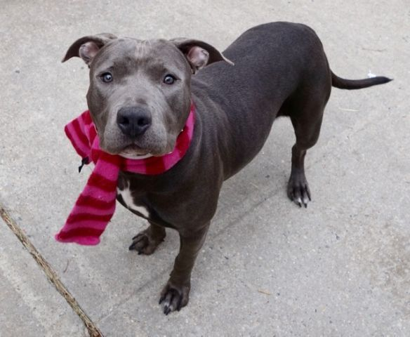ODYSSEY - A1100150 - - Manhattan  Please Share:TO BE DESTROYED 01/03/17 A volunteer writes: An odyssey is defined as a long and eventful journey, but we're hoping that our Odyssey will have a short and eventful journey….from our 'house' to yours. Absolutely gorgeous in her slate grey coat, she's petite, friendly, bouncy, friendly and playful. Easily leashed we head outside and after going potty we head to the park. Odyssey doesn't mind be