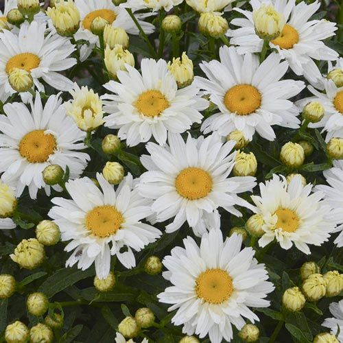 Cream Puff Leucanthemum– Shasta Daisy| Spring Hill Nurseries