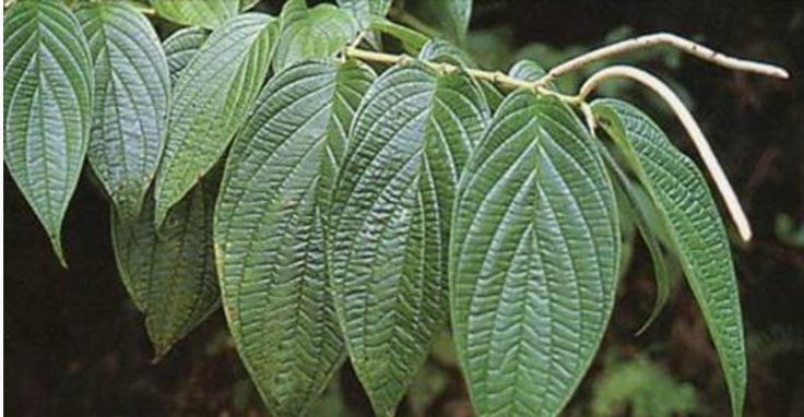 A planta aperta-ruão é muito comum no Brasil e em vários países da América Latina.Para quem não conhece, a planta é um arbusto que alcança cerca de 8m de altura, com folhagem verde viva, além de flores amarelas.