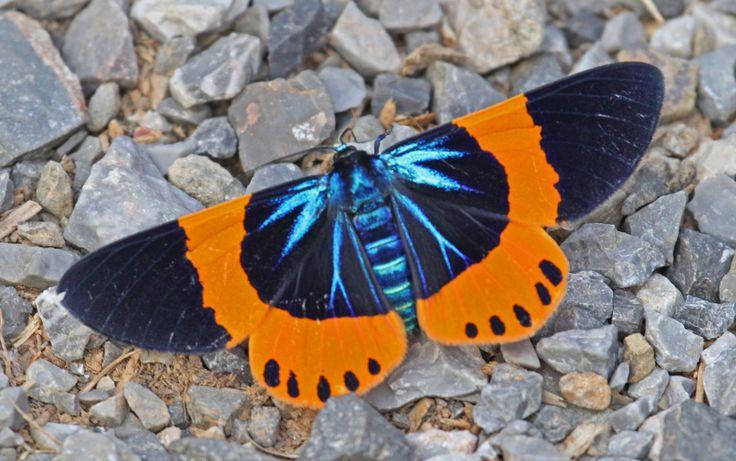 17 Best Ideas About Butterfly Species On Pinterest