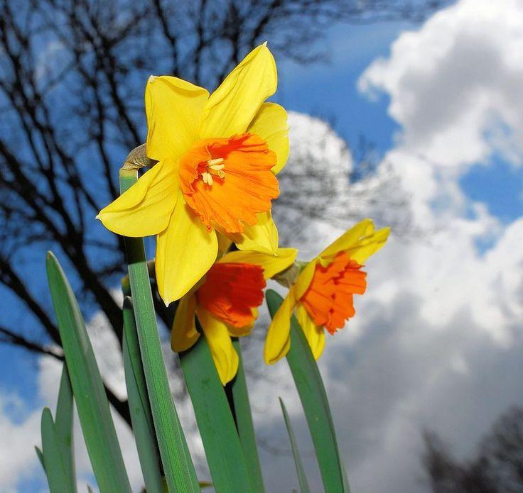 """""""【クロッカス】    ヨーロッパでは古くから春の訪れる告げる花と言われています。    花言葉は『私を裏切らないで』"""""""