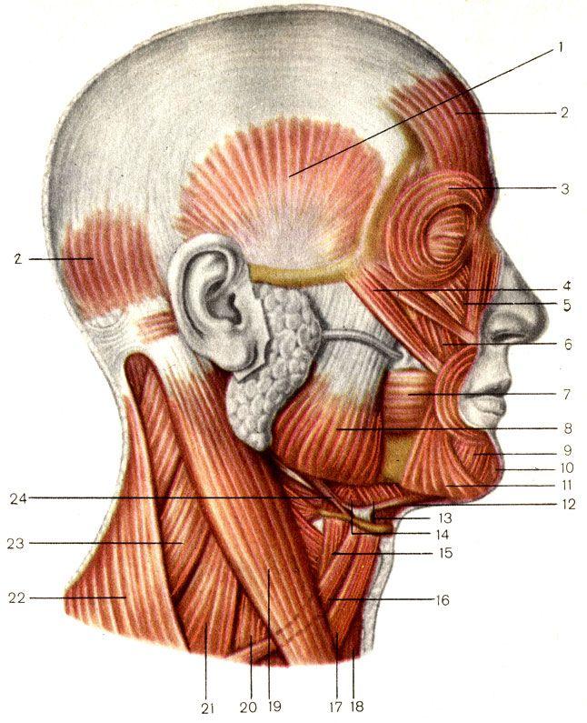 Мышцы головы и шеи; вид сбоку. 1 - височная мышца (m. temporalis); 2 - затылочно-лобная мышца (m. occipitofrontalis); 3 - круговая мышца глаза (m. orbicularis oculi); 4 - большая скуловая мышца (m. zygomaticus major); 5 - мышца, поднимающая верхнюю губу (m. levator labii superioris); 6 - мышца, поднимающая угол рта (m. levator anguli oris); 7 - щёчная мышца (m. buccinator); 8 - жевательная мышца (m. masseter); 9 - мышца, опускающая нижнюю губу (m. depressor labii inferioris); 10…