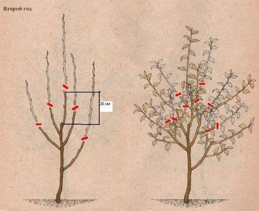 обрезка яблони на 2 год