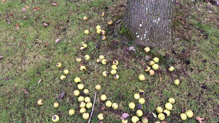 Black walnut (Juglans nigra) - fruit on the ground - November 2017