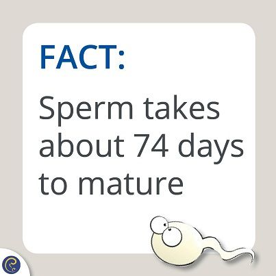 Did you know? Men produce millions of sperm everyday, however, when the sperm are initially formed they lack the ability to swim forward or fertilise an egg. It can take about 2 1/2 to 3 months for the new sperm to fully mature to the stage at which they can swim and are ready to fertilise an egg.