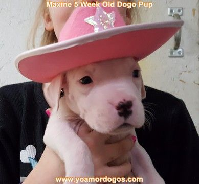 Litter of 9 Dogo Argentino puppies for sale in PINEVILLE, MO. ADN-62806 on PuppyFinder.com Gender: Female. Age: 6 Weeks Old