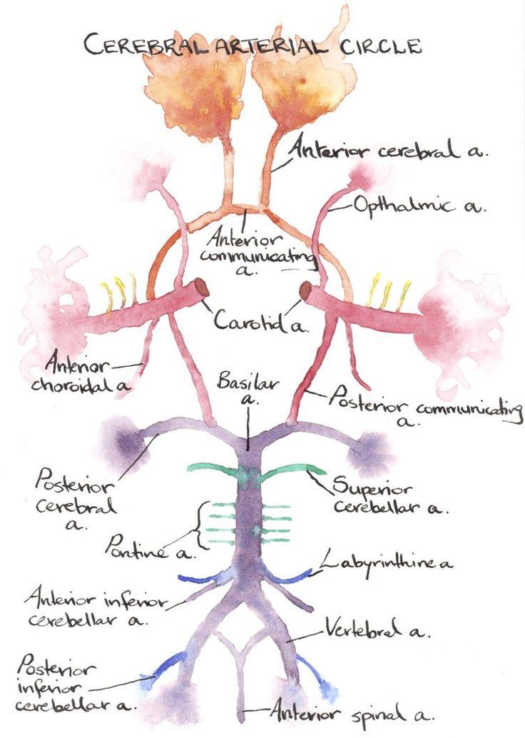 Cerebral Arterial Circle by ilex