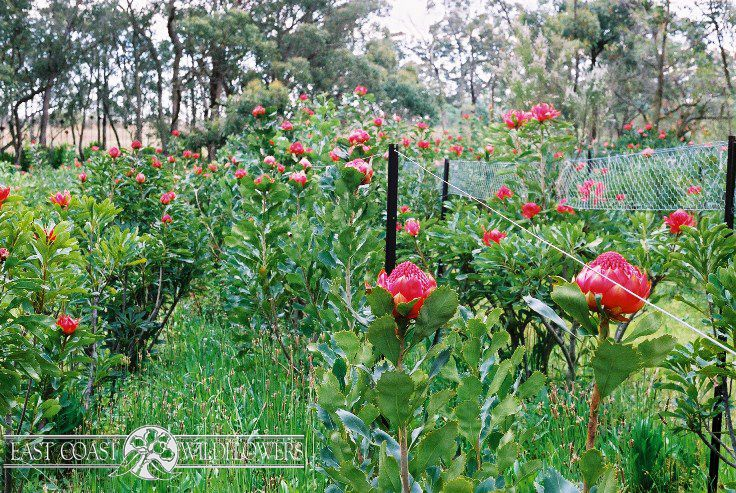 Red WARATAH growing on our NSW Central Coast farm