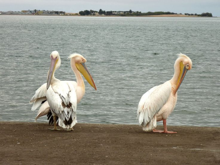 Pelícanos Walvis Bay