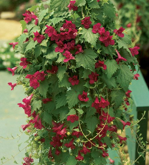 Creeping Gloxinia Lofos Wine Red One Of The Best Kept