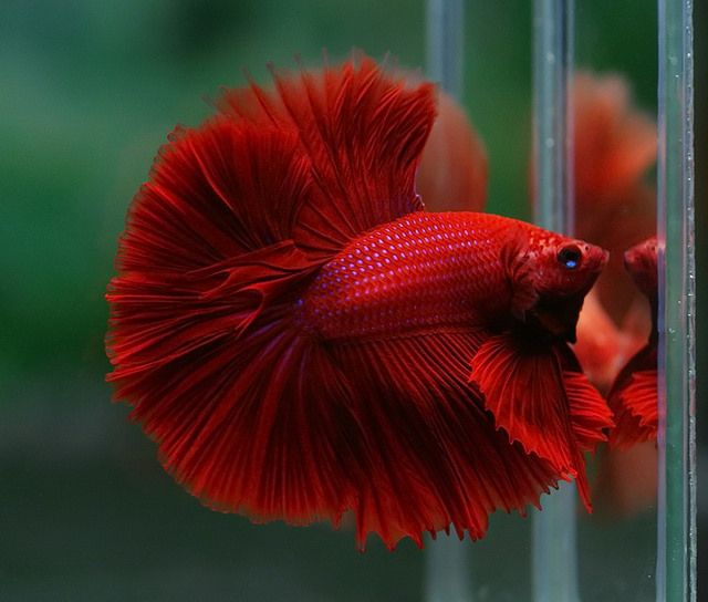 1000 images about fishes fancy bettas on pinterest for Betta fish names
