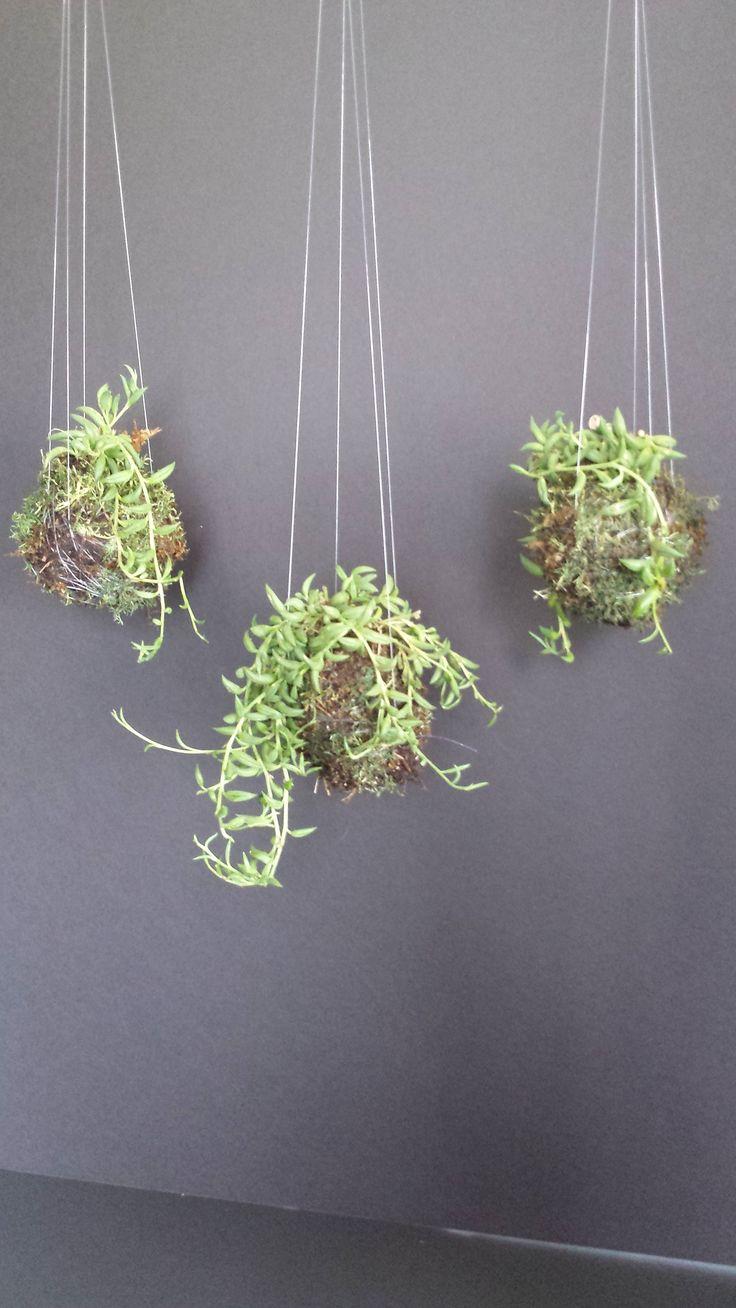 String of banana plant propagation - Kokedama Bonsai Succulent Banana Plant