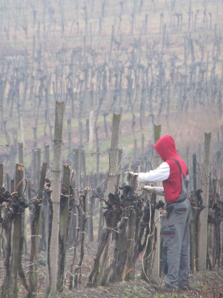 Vines being pruned outside Vienna