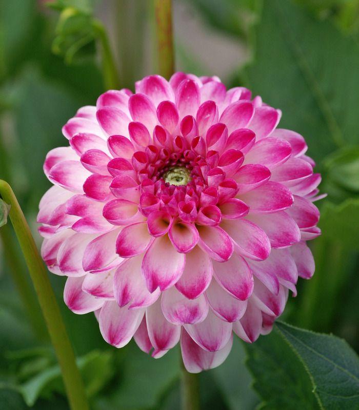 Dahlia 'Pink Isa'