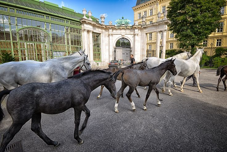 #Vienna #Austria #horses #lipizzaner #Spanishridingschool #Europe #Wideangle #Travel Website for more www.julianluskin.com