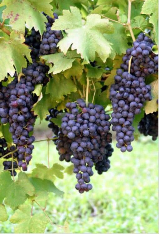 Napa Valley red wine grapes.