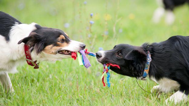Come far giocare due cani al tiro alla fune