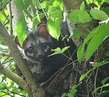 Asian Palm Civet peeking out from the trees http://coffeeroastinghacks.com/kopi-luwak-coffee-organic/