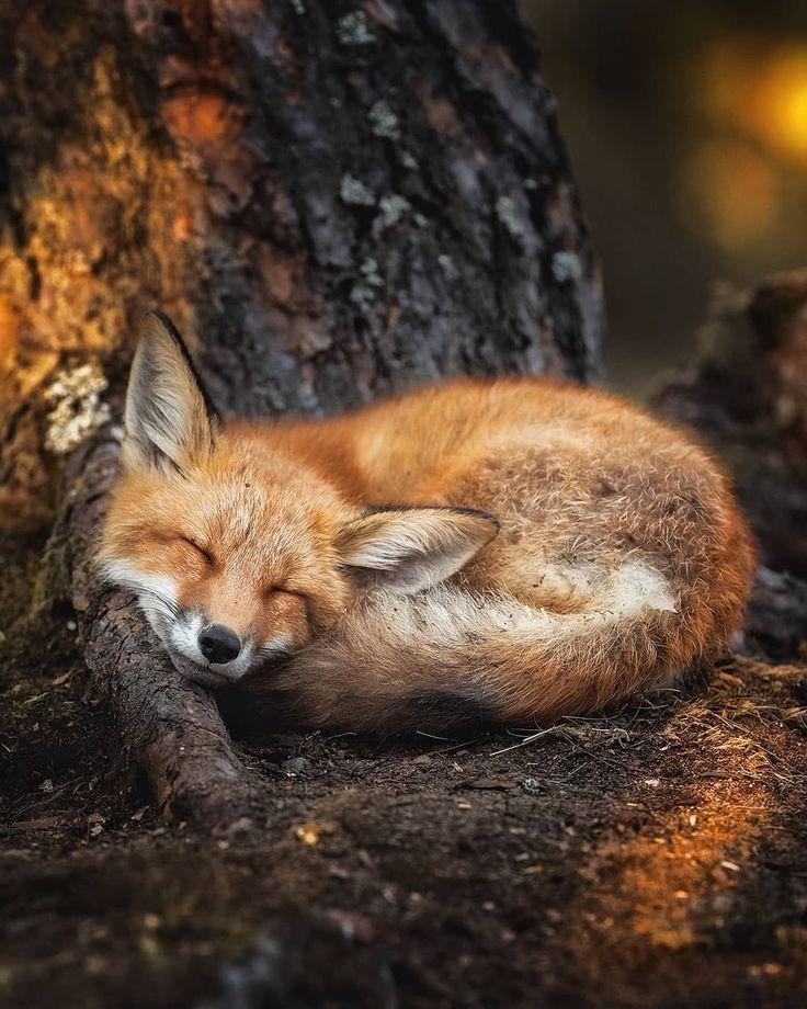 Картинка спит лиса