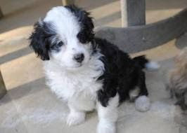 Image result for mini aussiedoodle