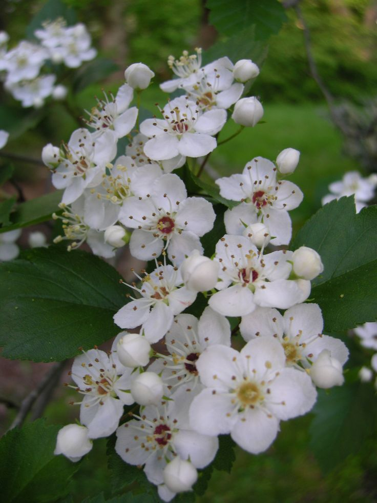 Hawthorn- May birth flower | Tattoos | Pinterest | Gardens ...