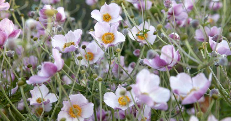 Reich blühend, robust und pflegeleicht – das sind nur einige Attribute, mit denen die Herbst-Anemone überzeugt. Ihre zarten Blütenkelche von Weiß über Rosa bis zu kräftigem Pink machen sie im Beet unverzichtbar.