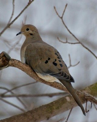 Best 25 mourning dove ideas on pinterest backyard birds for Mourning dove tattoo